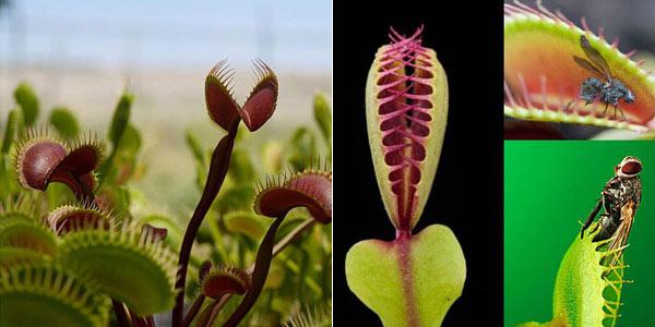 Sobre de 100 Semillas de planta carnívora Venus Flytrap chollo en Banggood