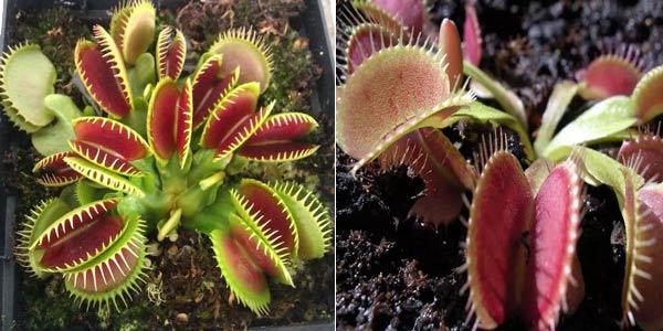Sobre de 100 Semillas de planta carnívora Venus Flytrap barato en Banggood